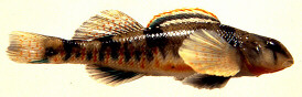 etheostoma-tetrazonum