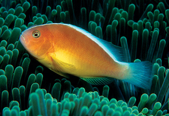 Amphiprion pacificus