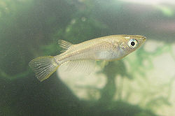 Oryzias latipes (медака)