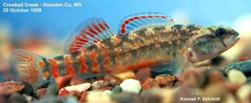 Etheostoma asprigene