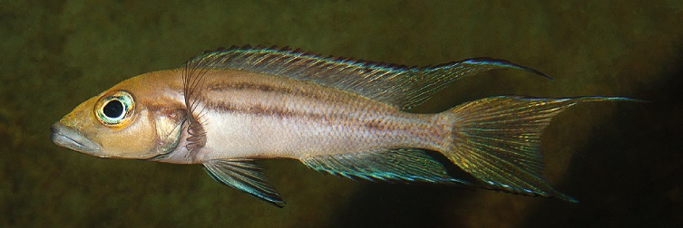 Neolamprologus timidus