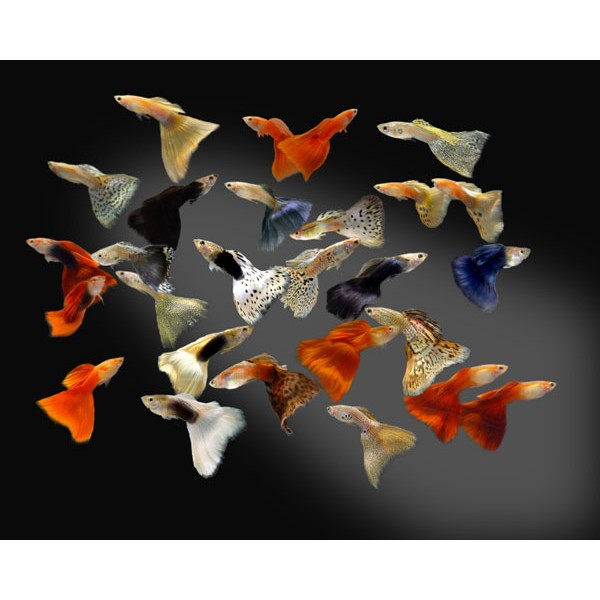 assorted-guppy-male-female-50-pack